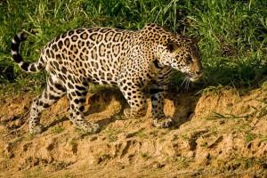 Jaguar et faune du Pantanal