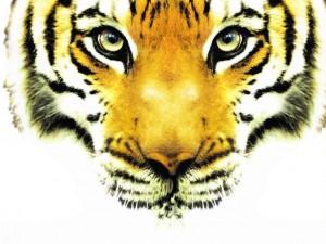 Fiche n°2 – Photographier le Tigre du Bengale en Inde