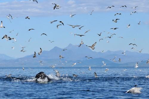 Safari baleines sur l'île de Vancouver, Colombie Britannique, Canada