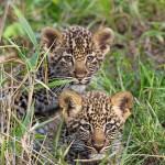 Bébés léopards dans le Masai Mara