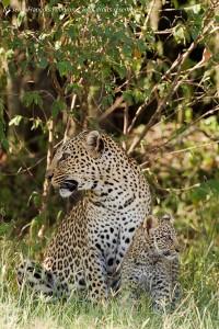 Mère Léopard et son bébé dans le Masai Mara