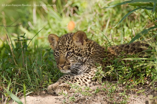 Bébé léopard dans le Masai Mara