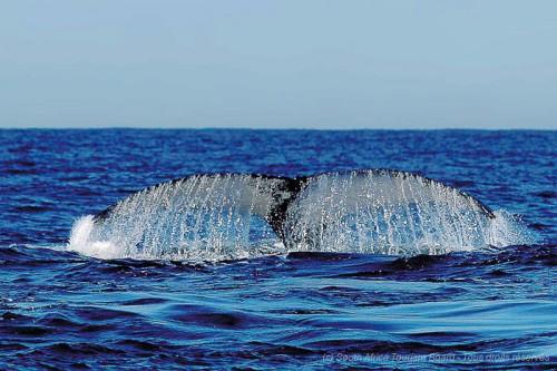 Photographier les baleines