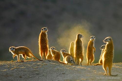 Il était une fois, la famille suricate :)