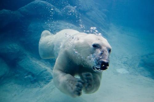 Ours polaire : pas d'interdiction du commerce international de l'espèce