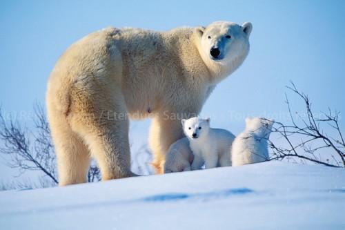 Canada : Oursons de Waspuk, la sortie des tanières en 2015