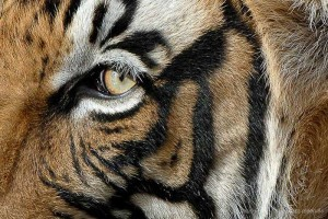 Safaris Tigre à Ranthambore et Corbett avec Alain Pons