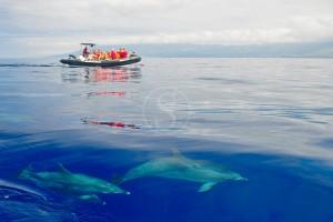 Nager avec les dauphins aux Açores