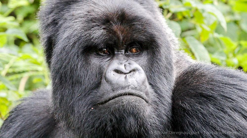 Gorilles des montagnes, Rwanda © Olivier Deregnaucourt