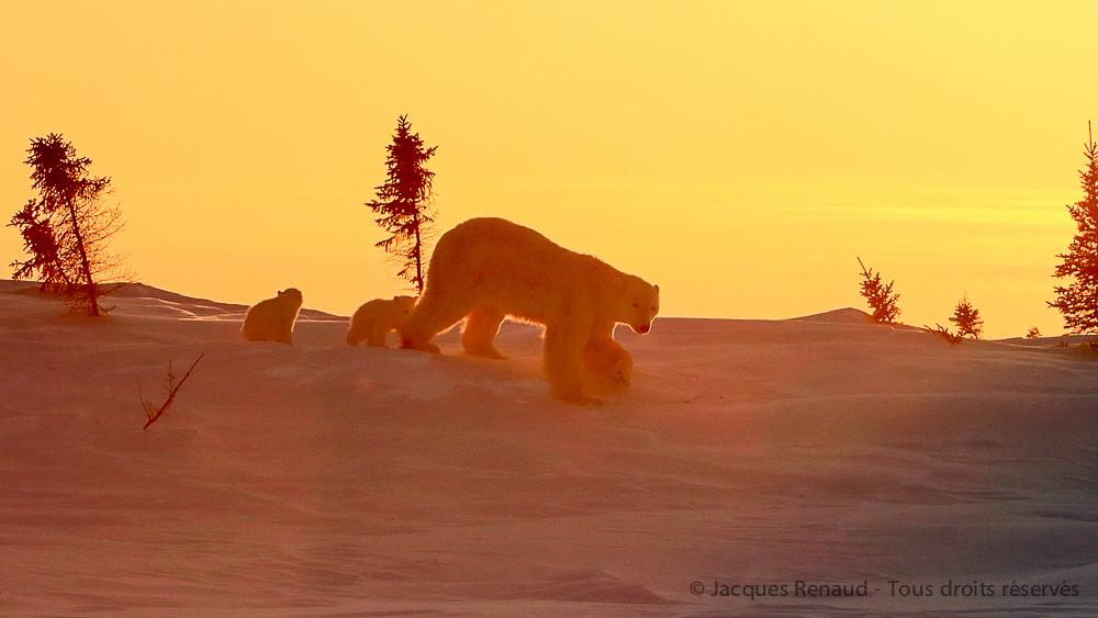 Immersions, entre ours bruns et ours polaires