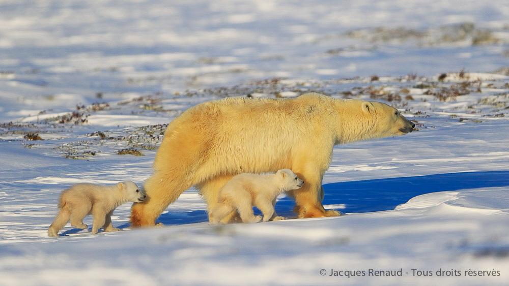 Ours à la sortie des tanières, Canada © Jacques Renaud