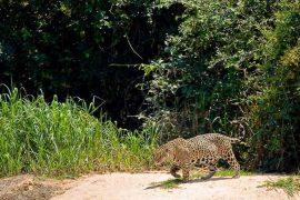 Jaguar au Pantanal, Brésil © Christophe Courteau