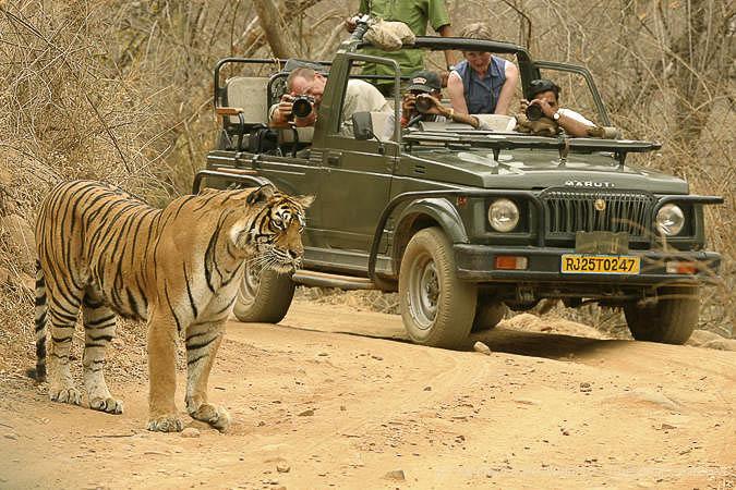 Photographier le tigre du Bengale