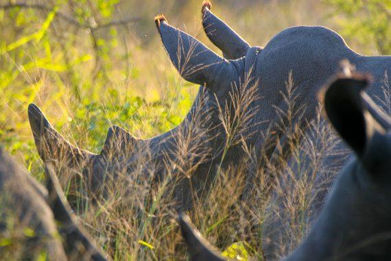 Rhinocéros dans le parc Kruger, Afrique du sud