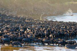 Migration dans le Masai Mara, Kenya © Shutterstock