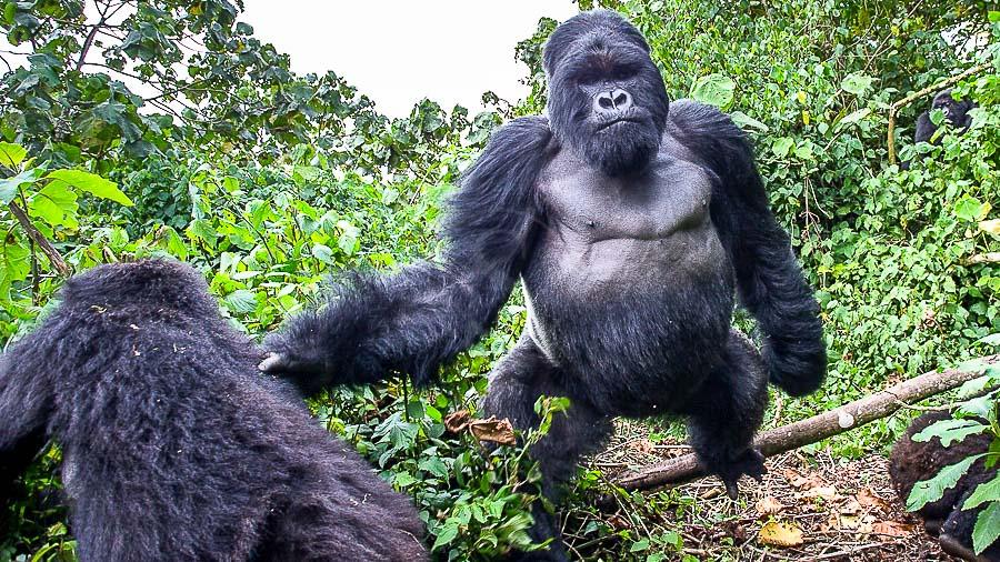 Les grands singes en Ouganda et au Rwanda, par Christophe Courteau