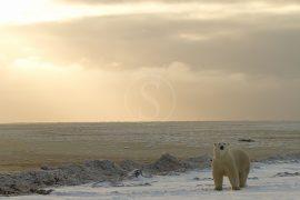 Migration des ours en Flyin safari, Canada © AK - tous droits réservés