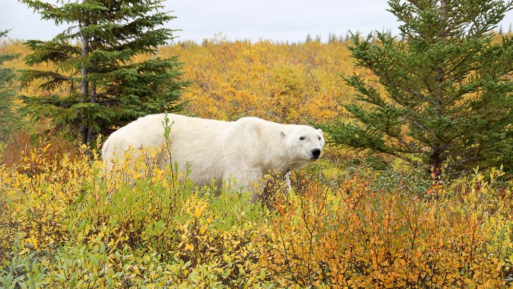Les ours de la Baie d'Hudson, en septembre