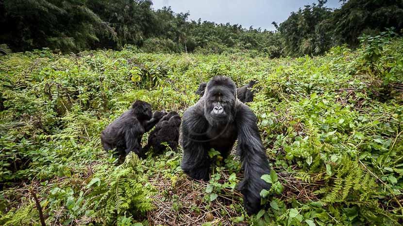 Christophe Courteau, le gorille dans la peau !