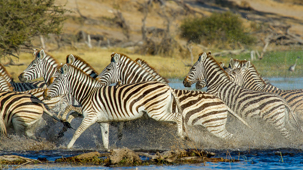 Migration des zèbres à Leroo La Tau, Botswana