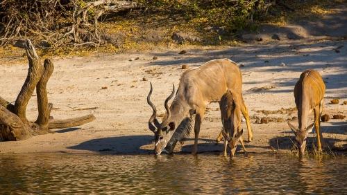 Safari à Chobe © Etendues Sauvages