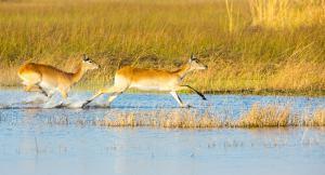Safari dans le Delta de l'Okavango, Botswana