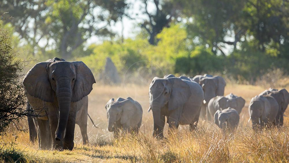 Safari dans la réserve de Moremi, Botswana © Laurent Guillot