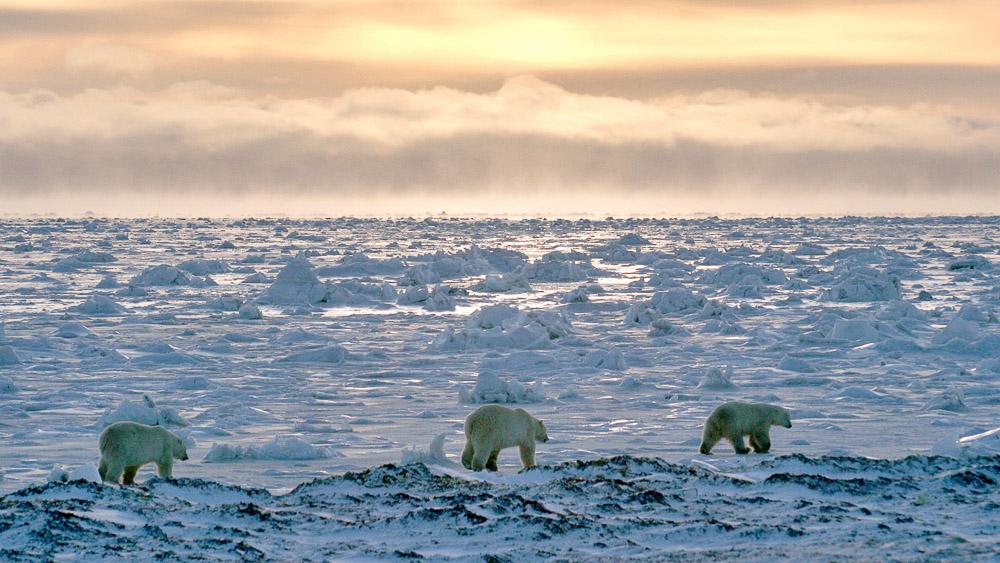 Migration des ours en Flyin safari, Canada © AK