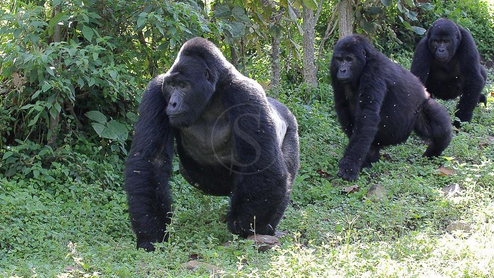 Gorilles des montagnes à Bwindi, Ouganda © Corinne Le G.
