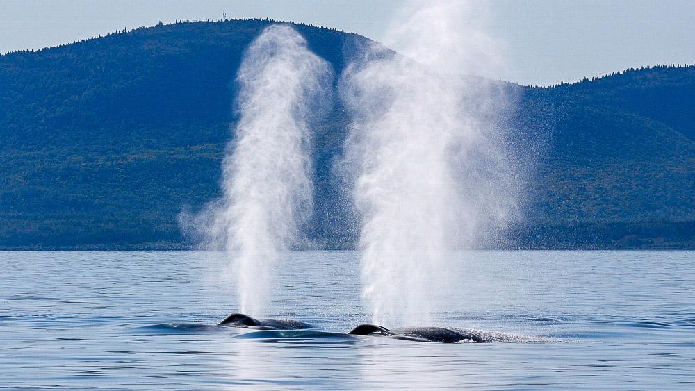 Plongée avec les baleines bleues, Canada © MICS