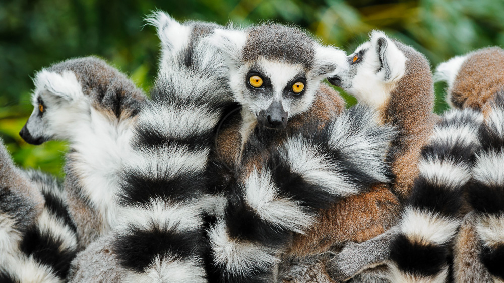 Lémur Catta, Madagascar