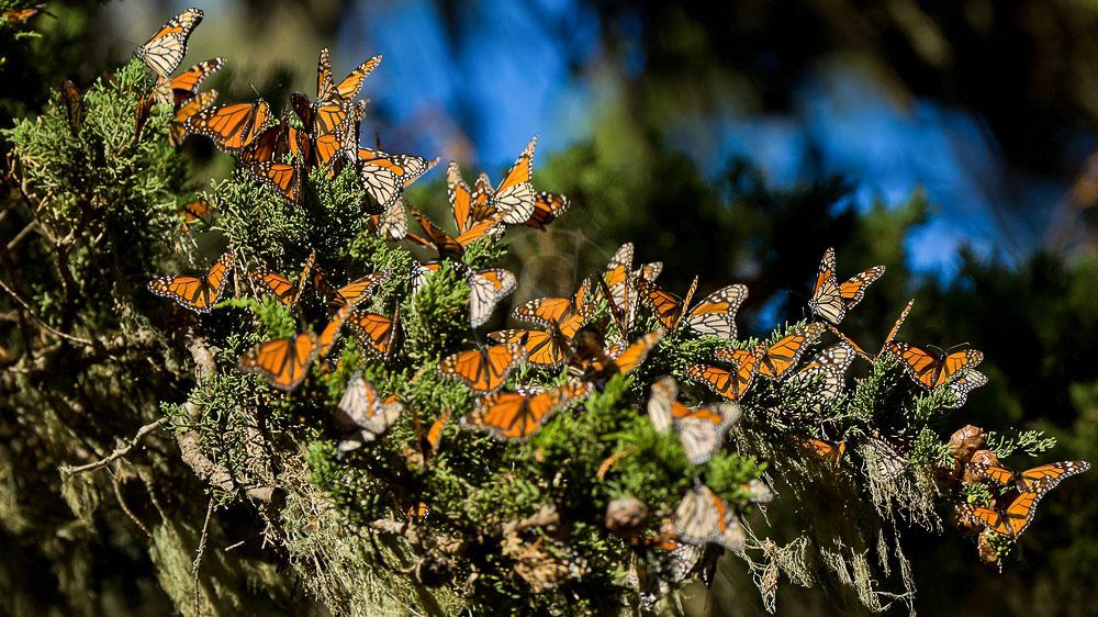 Papillons Monarques dans le Michoacan, Mexique