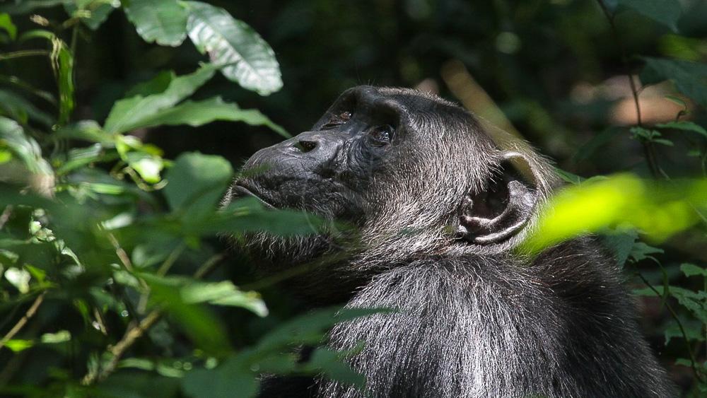 Chimpanzé à Kibale, Ouganda © Corinne Le G.
