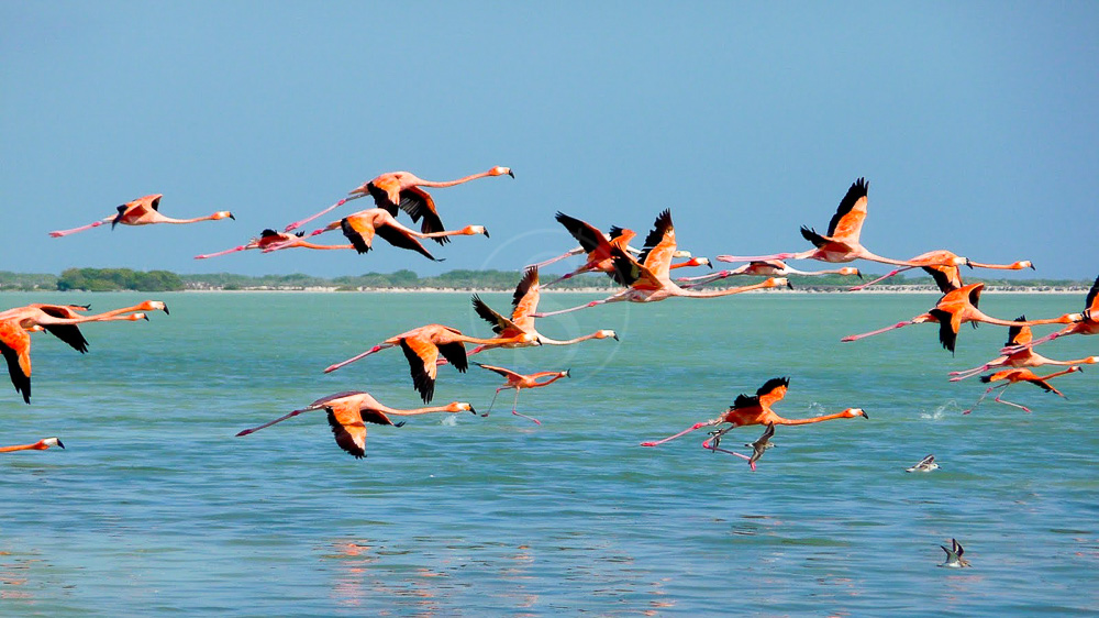 Flamants roses à Ría Celestún, Mexique