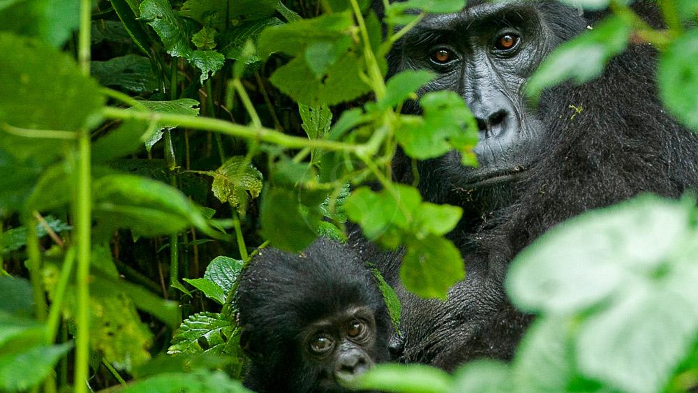 Gorilla Forest Camp, Ouganda © Sanctuary Camps