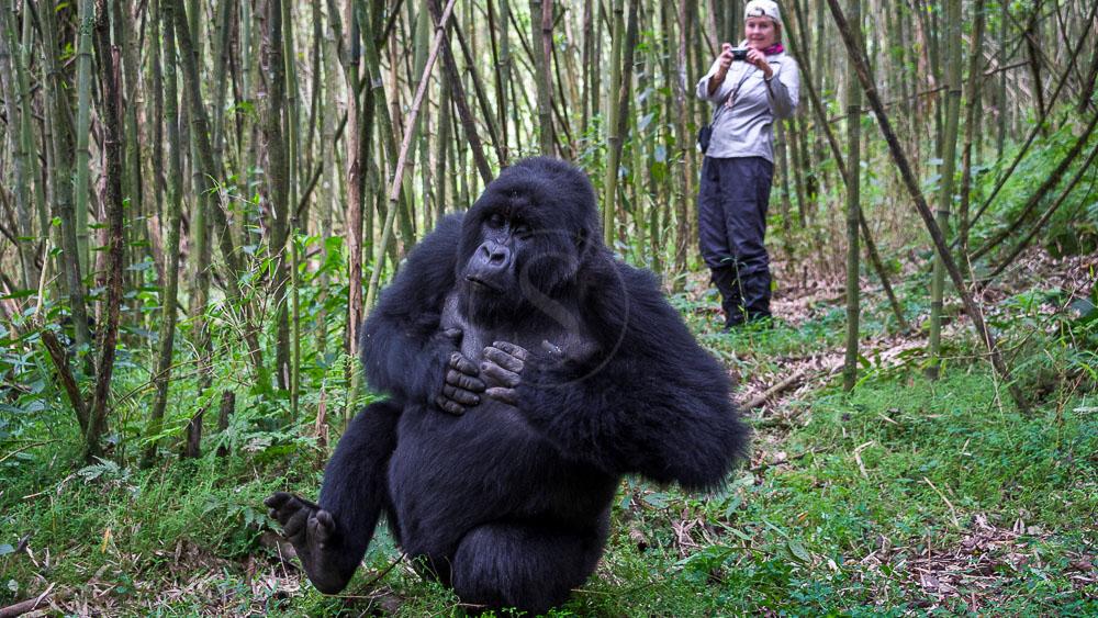 Trek Gorille avec le Bisate Lodge, Rwanda © Wilderness Safaris