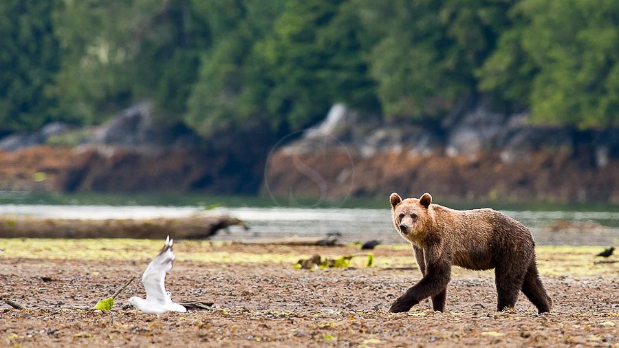 Grizzly sur l'ile de Vancouver, Canada © Patrick Gallet