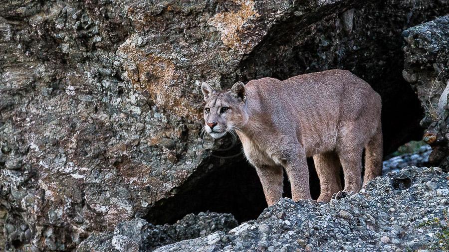 Puma en Patagonie, Chili © Christophe Courteau