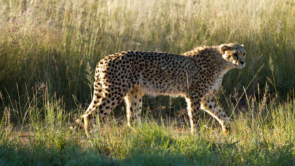 Protection des guépard à Okonjima, Namibie