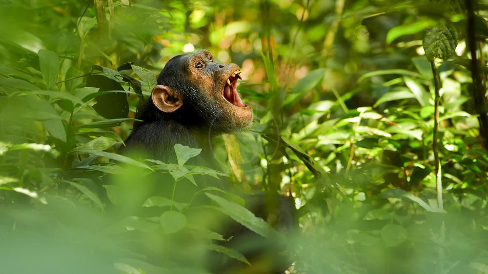 Chimpanzé dans la forêt de Kibale, Ouganda
