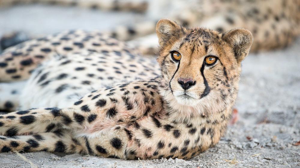 Safaris à Ongava Game Reserve, Namibie © Olwen Evans