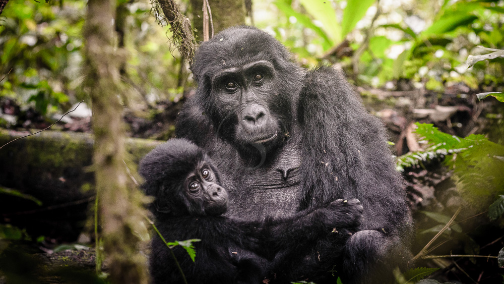 Sanctuary Gorilla Forest Camp, Ouganda © Sanctuary Retreats