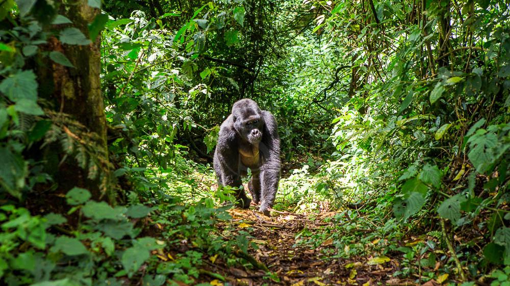 Forêt de Bwindi, Ouganda