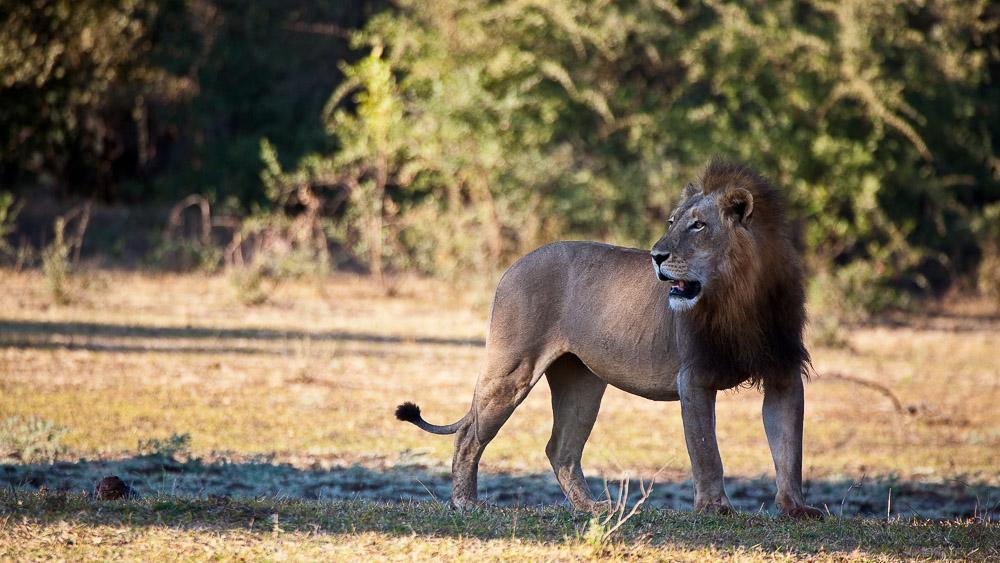 Lion mâle à South Luangwa