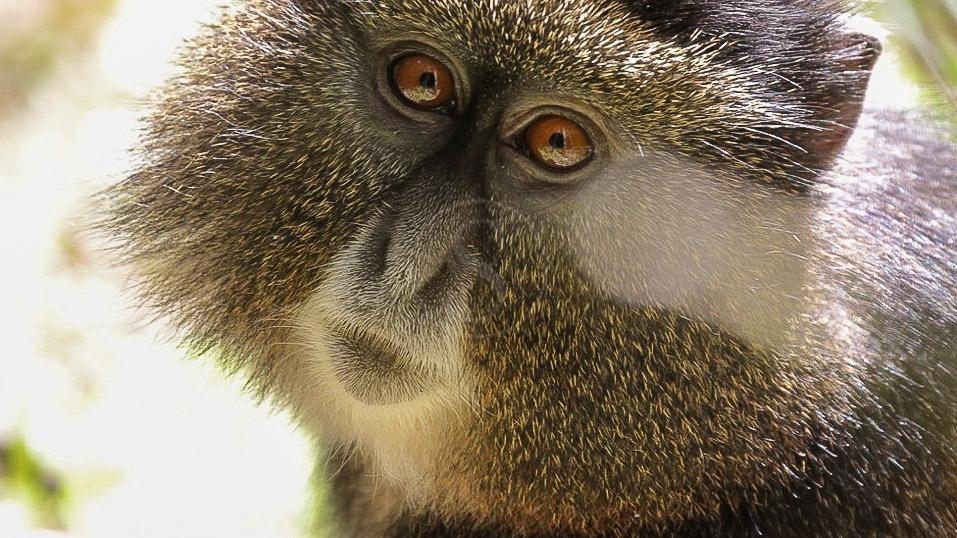 Singe doré, Rwanda © Corinne Le G.