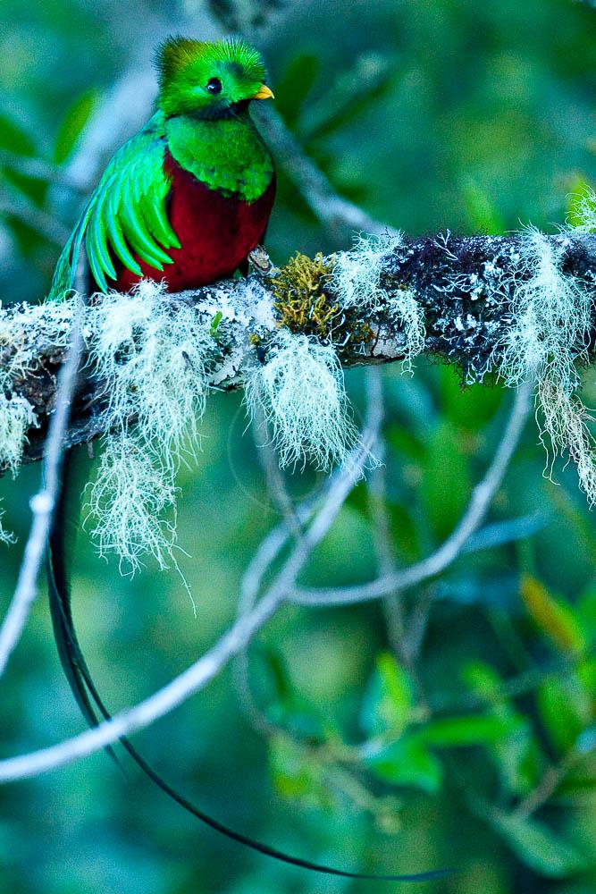 Quetzal au Costa Rica © L. Guillot / Etendues Sauvages