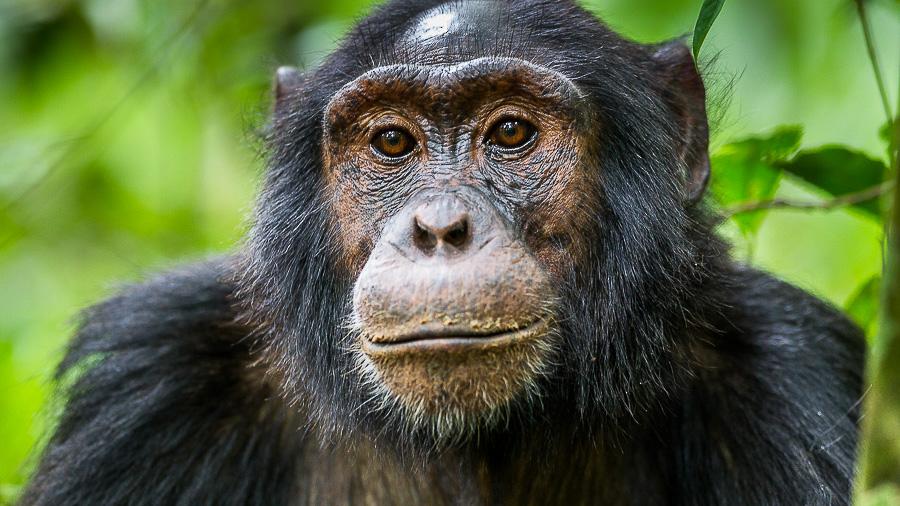 Chimpanzés à Kibale, Ouganda © Christophe Courteau