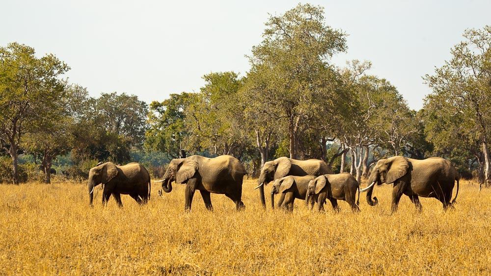 Eléphants lors d'un safari en Zambie
