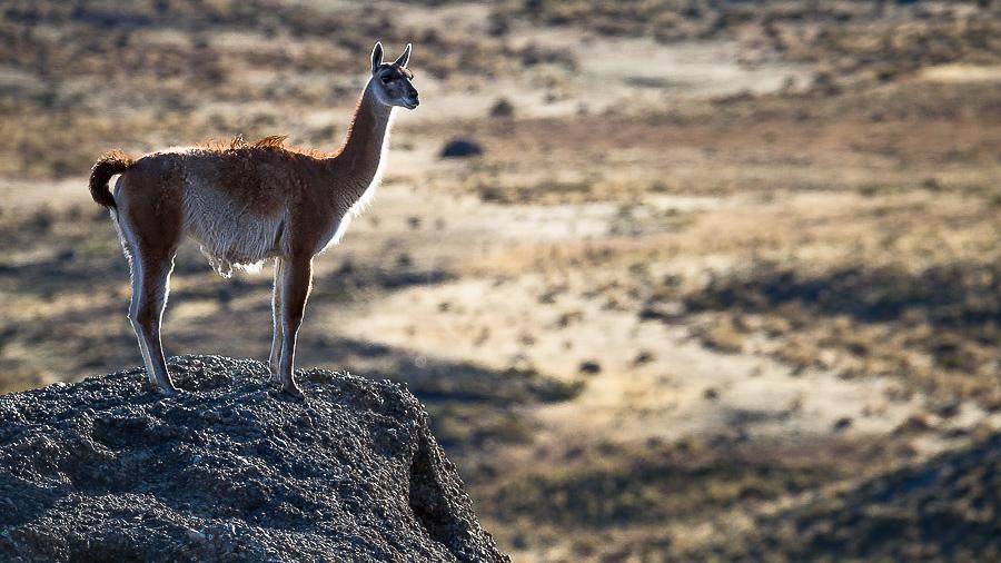 Guanaco en posture d'alerte, Chili © Christophe Courteau