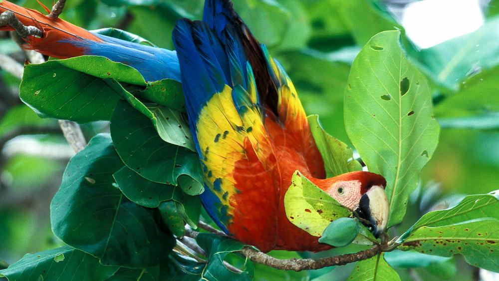 Ara dans le parc de Corcovado, Costa Rica